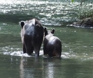 Spot Tapirs in Costa Rica.
