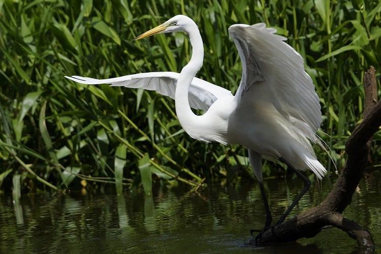Witte reiger, vogelreis Costa rica, unico travel latijns-amerika specialist
