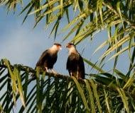 Spot de kalkoengier in Costa Rica.