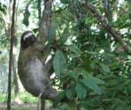 Luiaard bij Nationaal Park Corcovado La Leona Ranger Station in Costa Rica