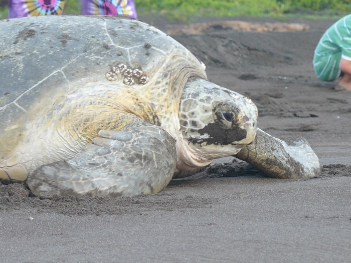 Schildpad moedereieren leggen Costa Rica