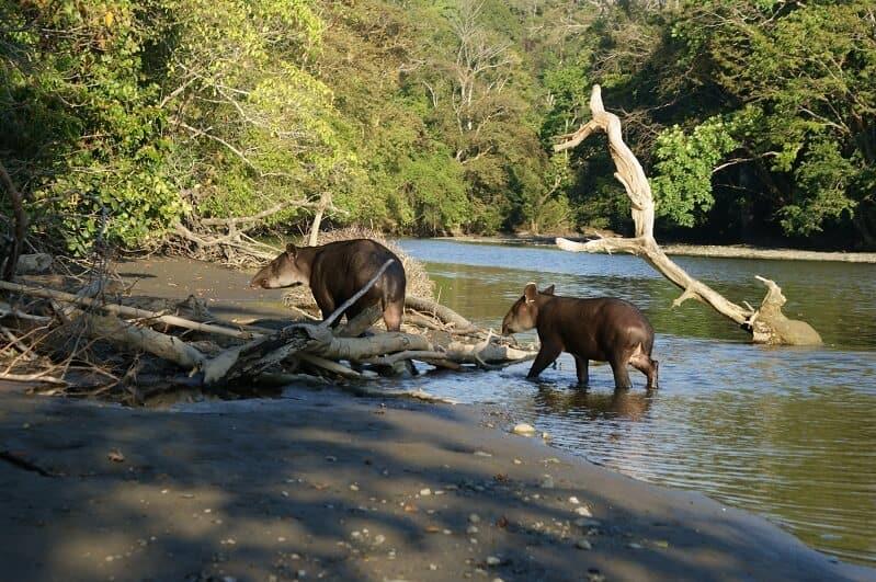tapirs in costa rica
