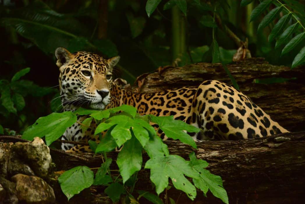 jaguar belize