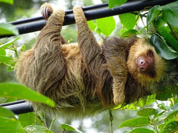 Luiaard in boom Costa Rica