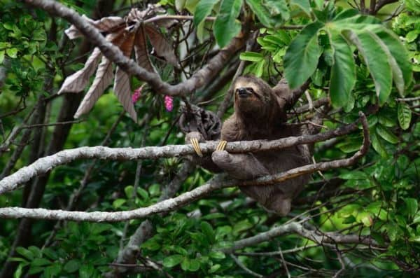 Luiaard in boomtoppen Costa Rica
