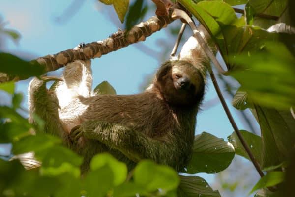Drietenige luiaard in Costa Rica