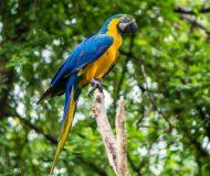 Amazone Ara
