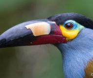 Toekan Amazone Ecuador