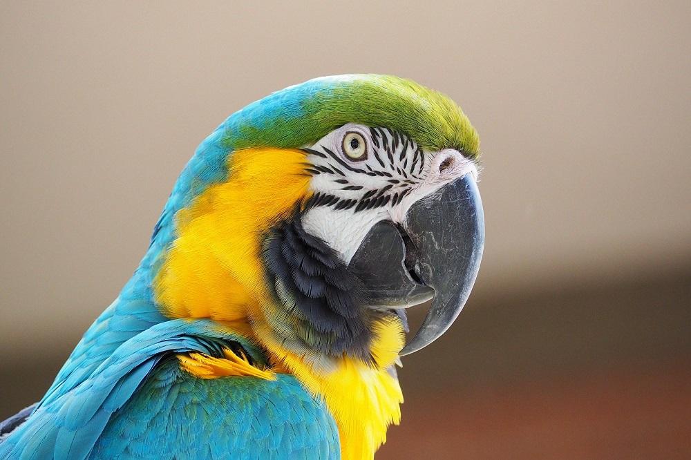 Ara Amazone
