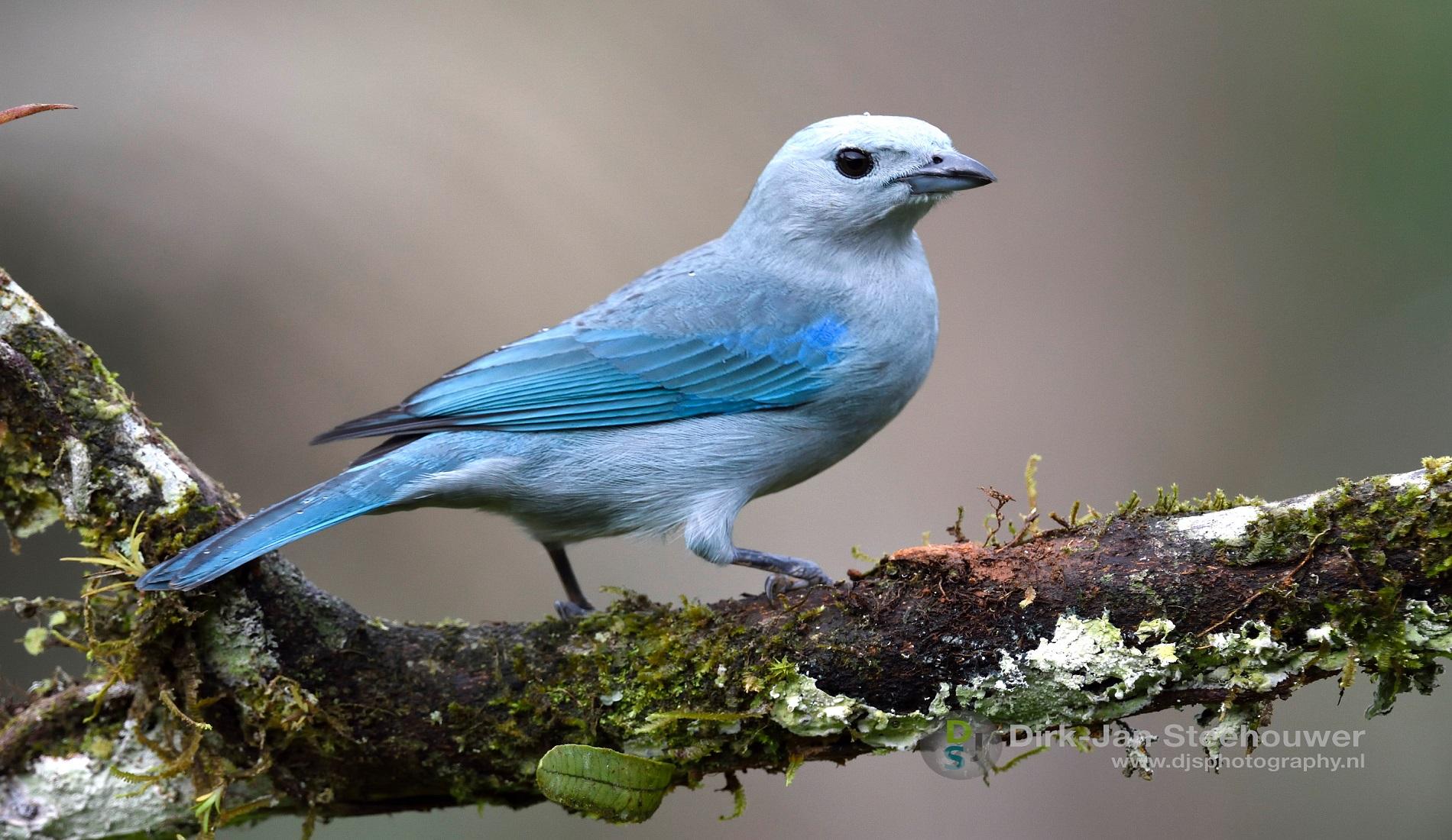 blue grey tanager vogelreis costa rica