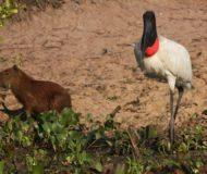 Capibara met een reuzenooievaar