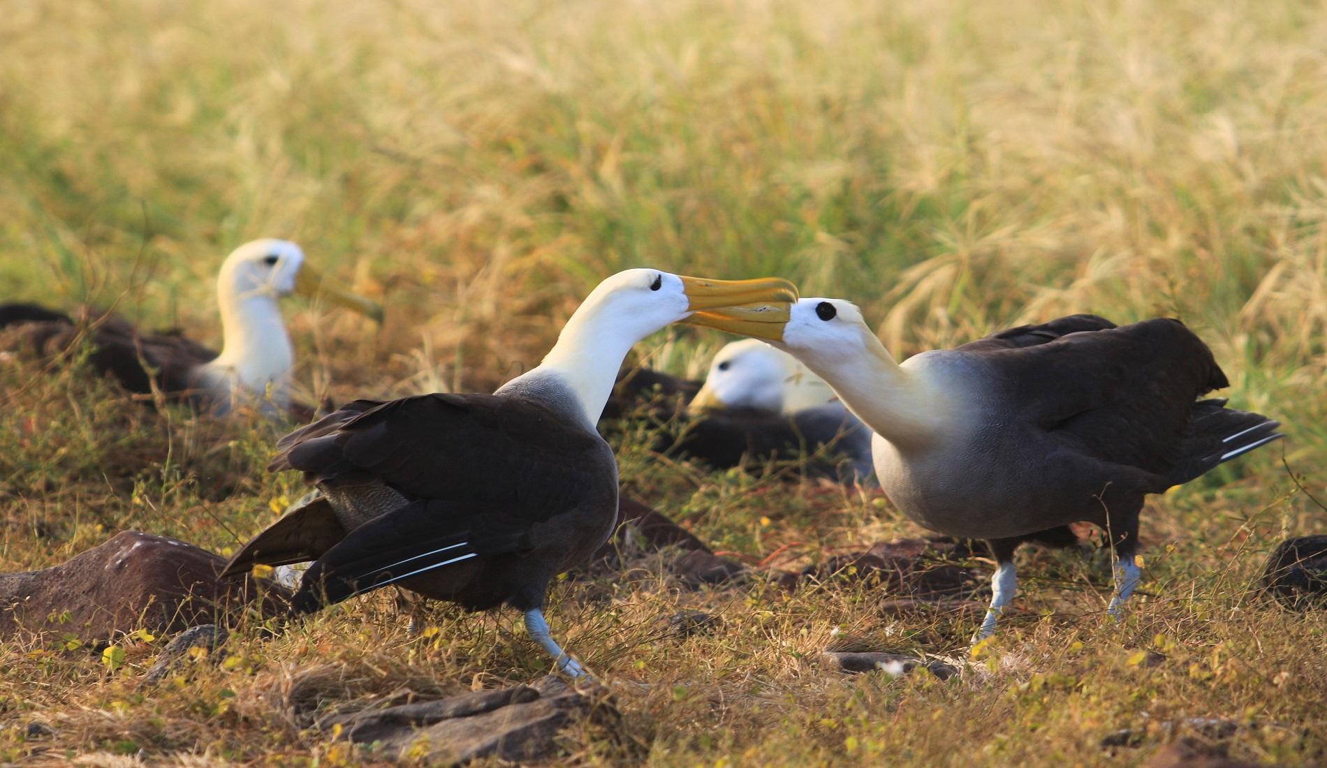 Española Albatros galapagos eilanden