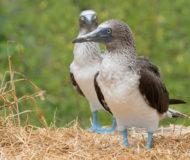 Blauwvoetgenten Galapagos