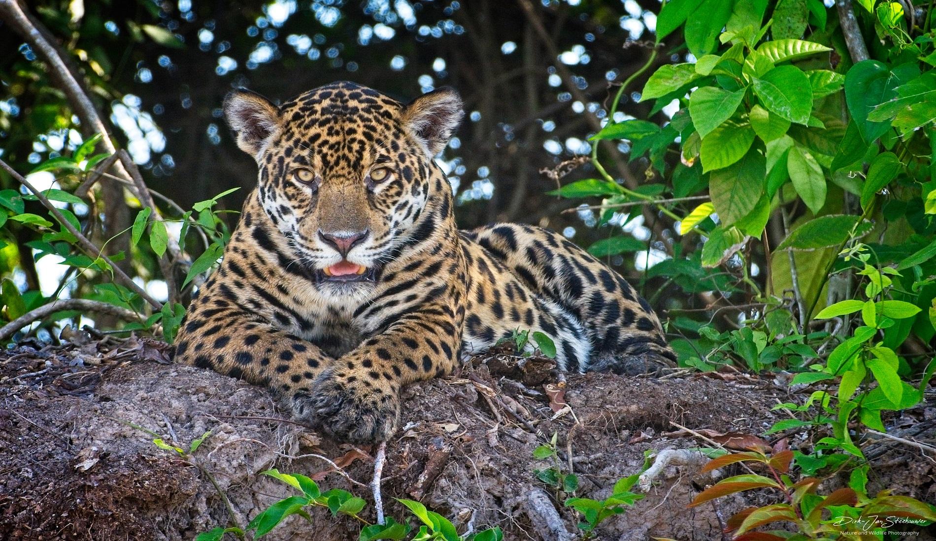 Jaguar bij Porto Jofre fotoreis Pantanal