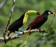 Keel-billed toucan | Oropendola
