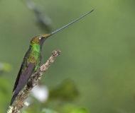 Kolibrie omgeving Tinamou