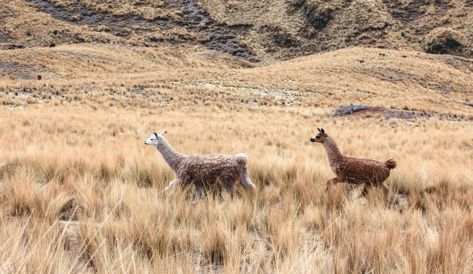 Lama Andesgebergte Peru