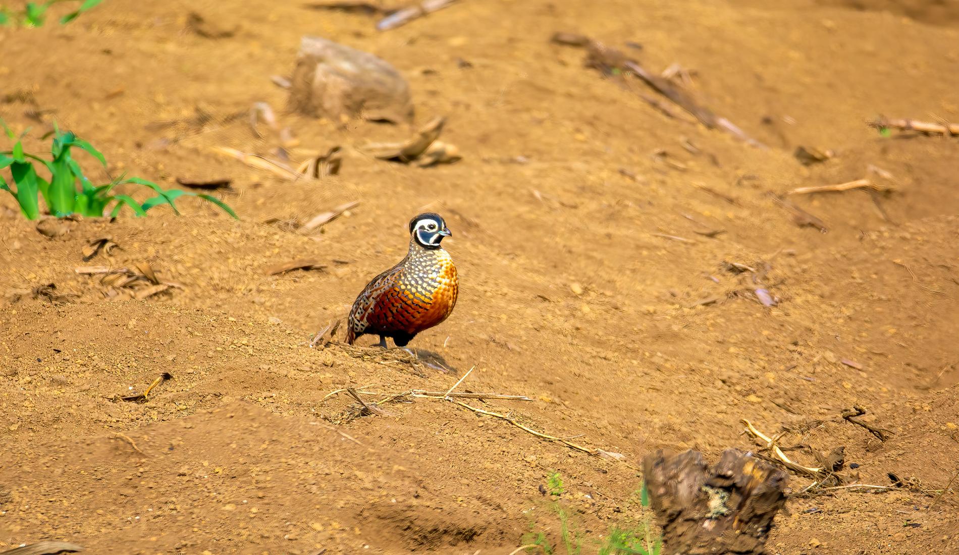 Ocellated Quail vogelreis guatemala