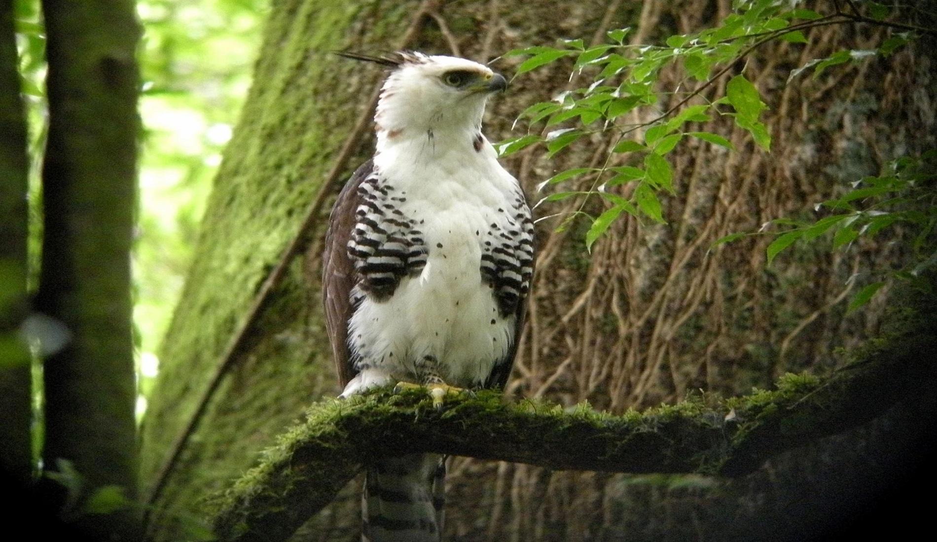 Ornate Hawk Eagle vogelreis panama