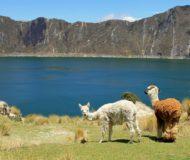 Quilotoa lama's