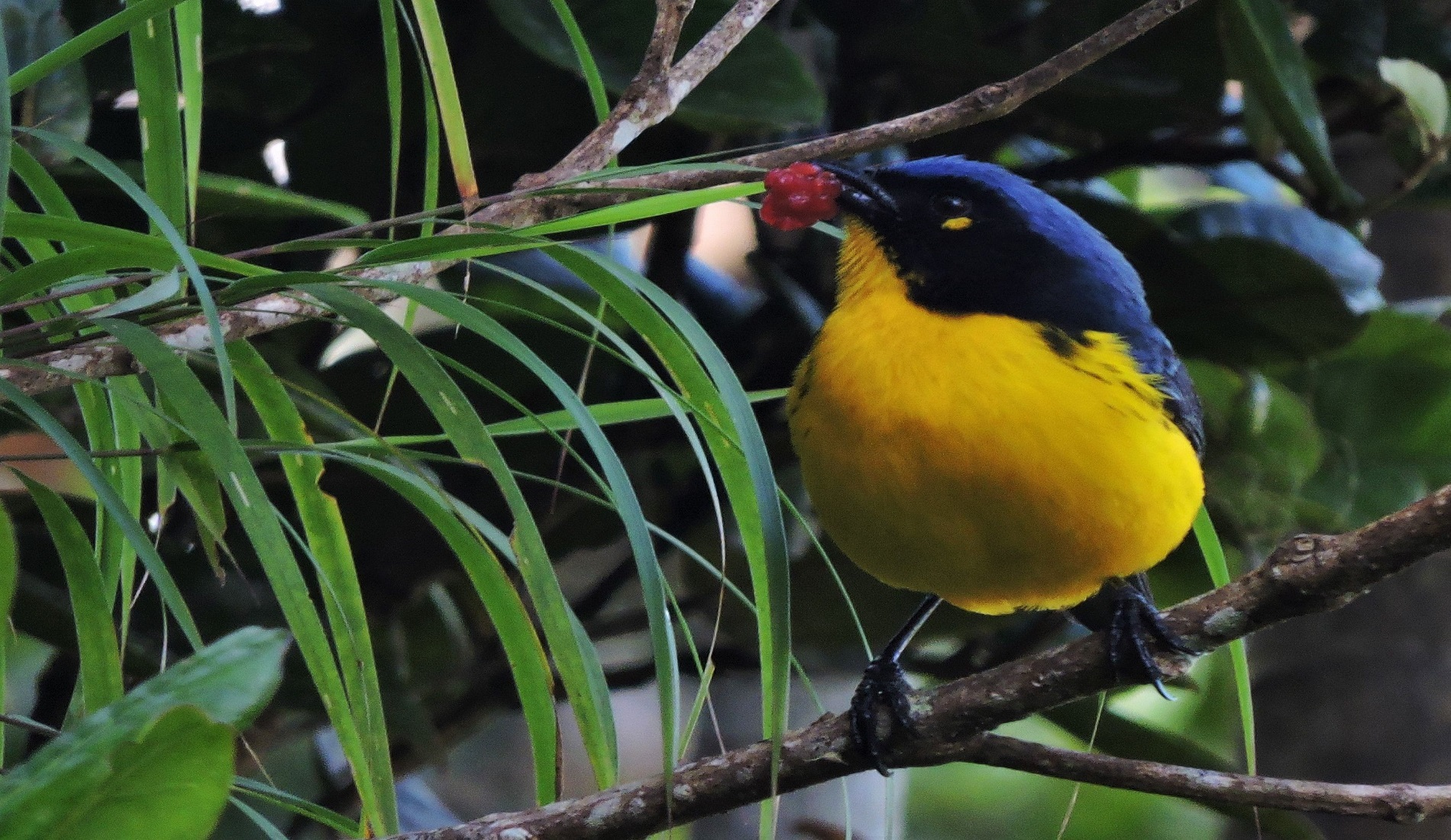 Santa Marta mountain tanager