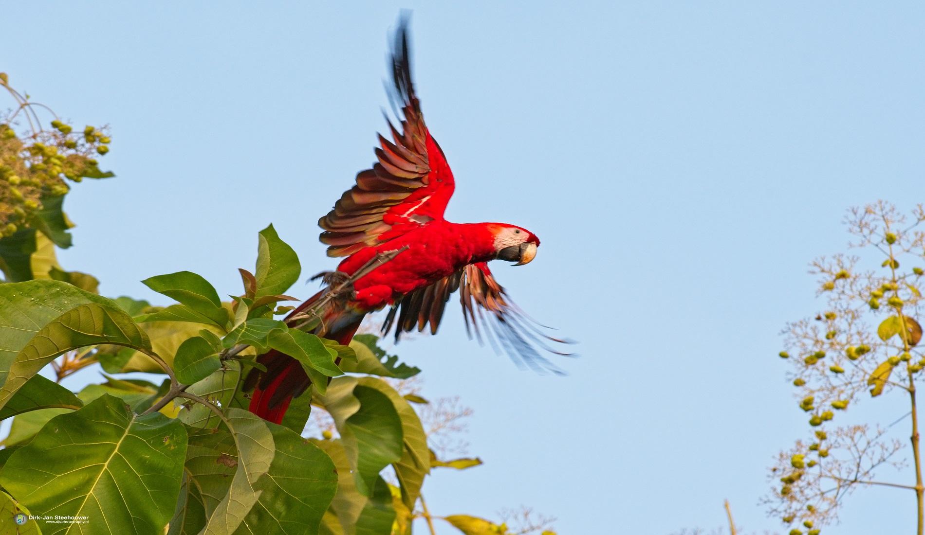 Scarlet Macaw vogelreis costa rica