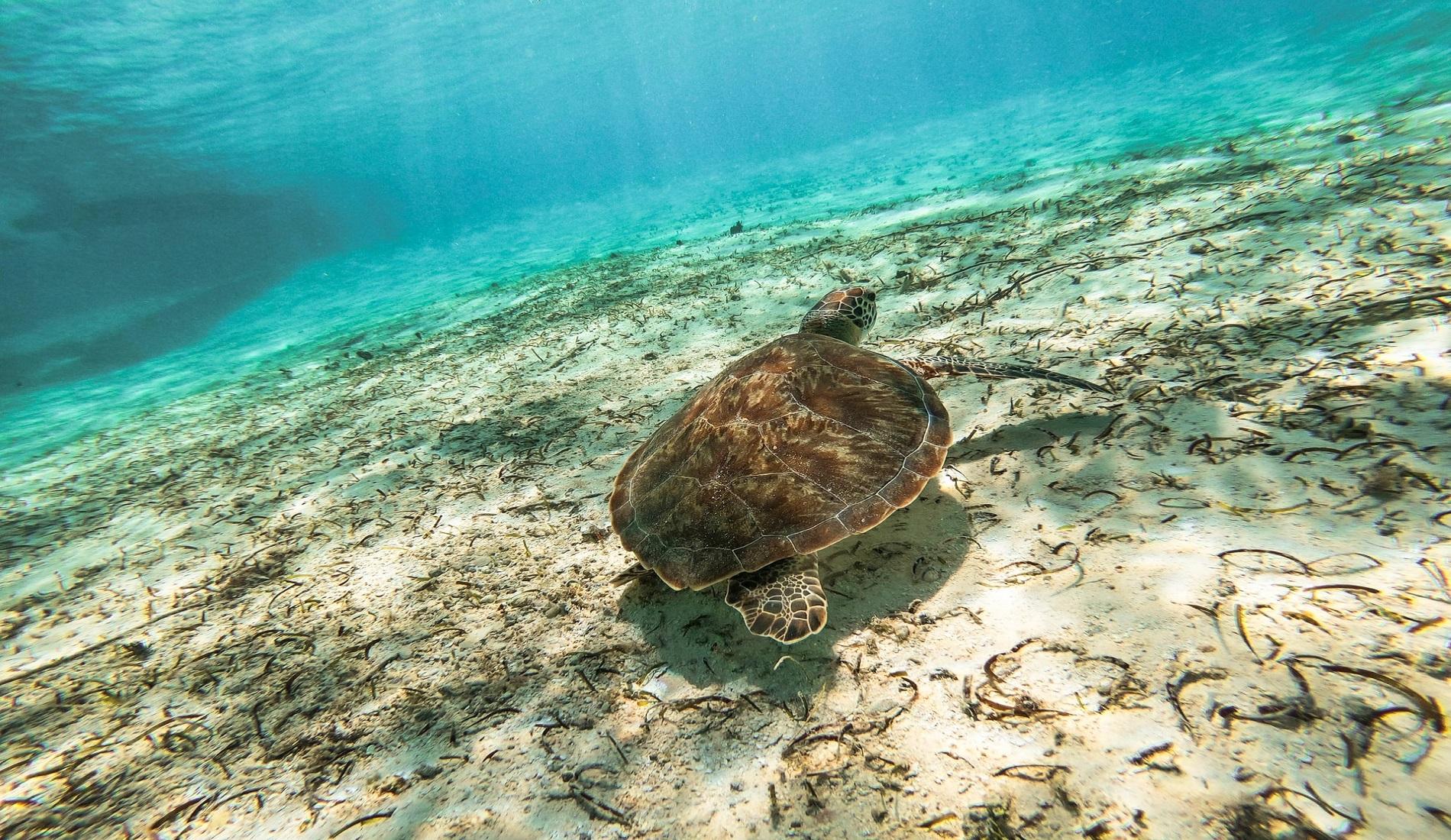 Schildpad isla grande