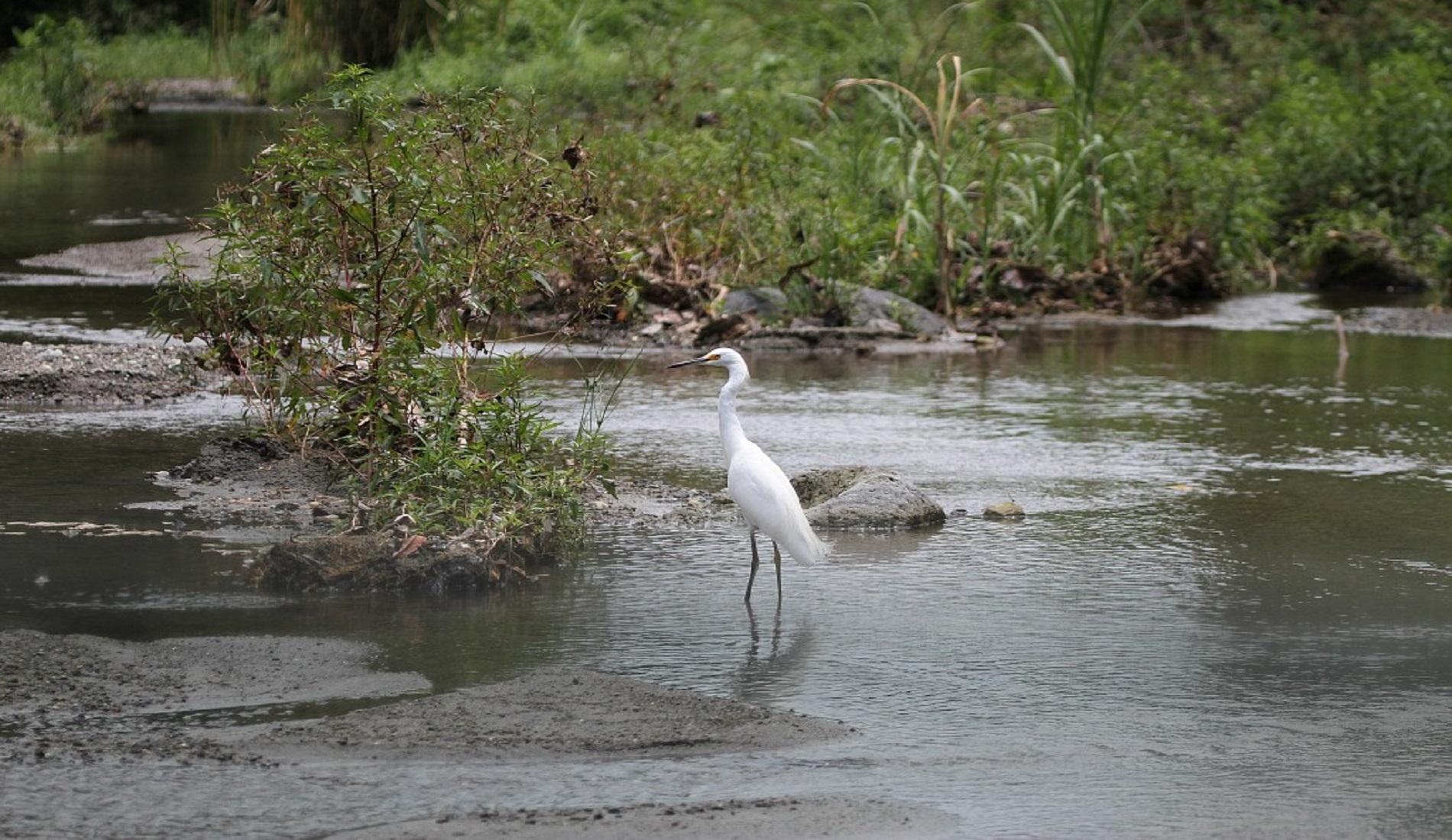 Snowy Egret Laguna del Hato vogelreis colombia