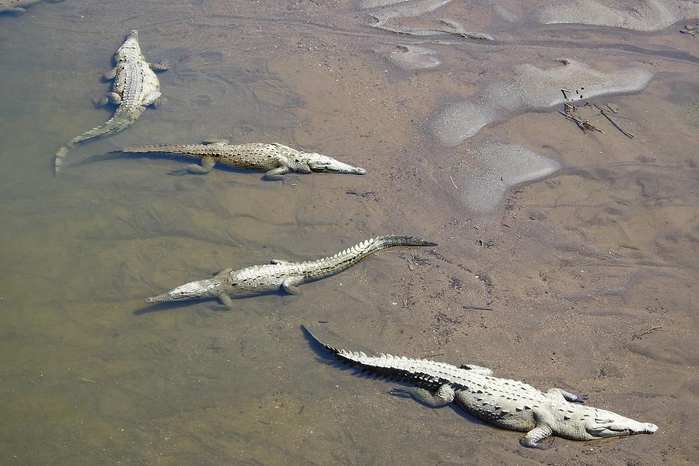 Tarcoles krokodil