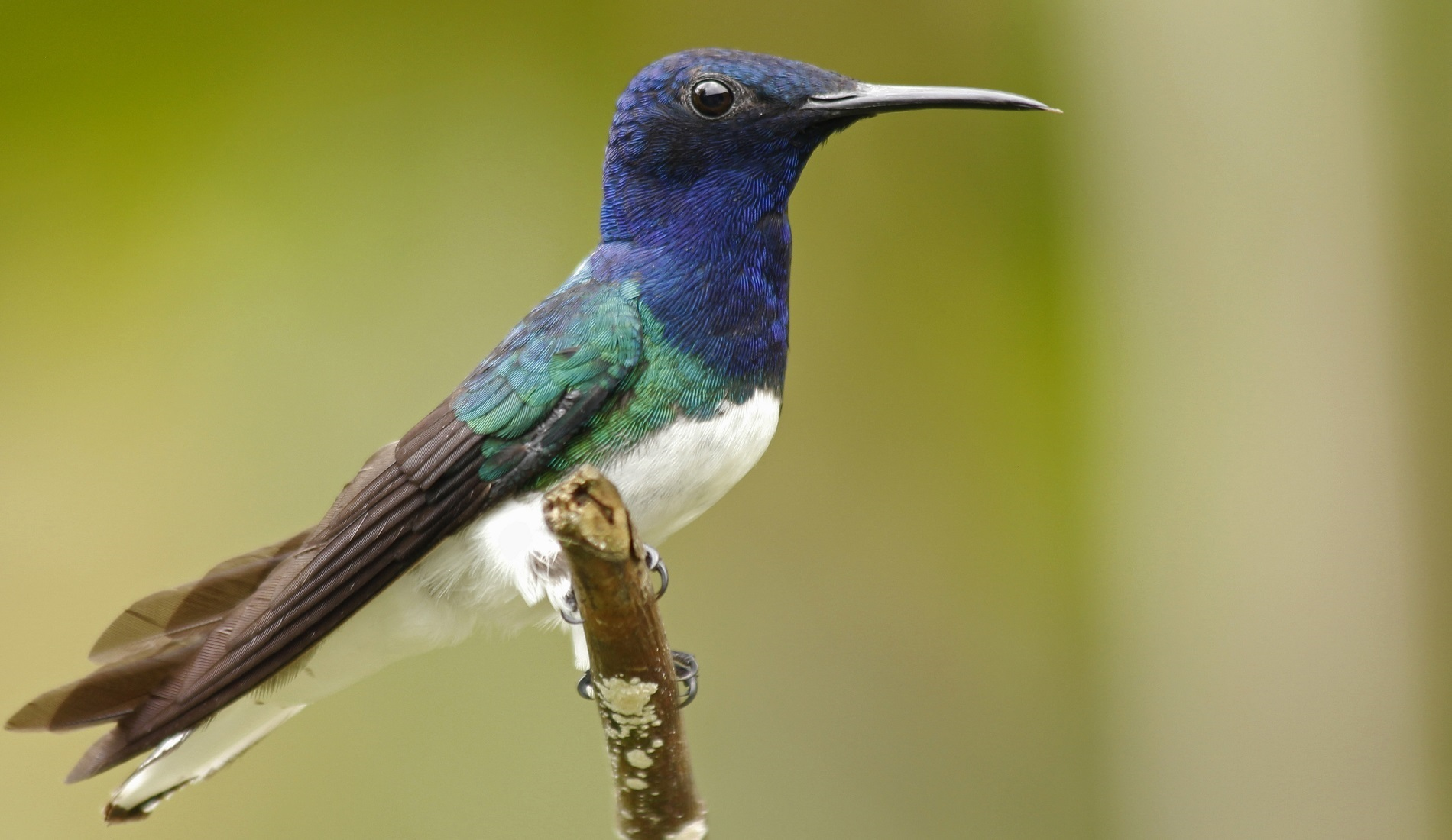 Tinamu White-necked Jacobin