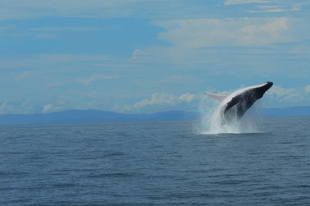 Uvita lokaal walvis