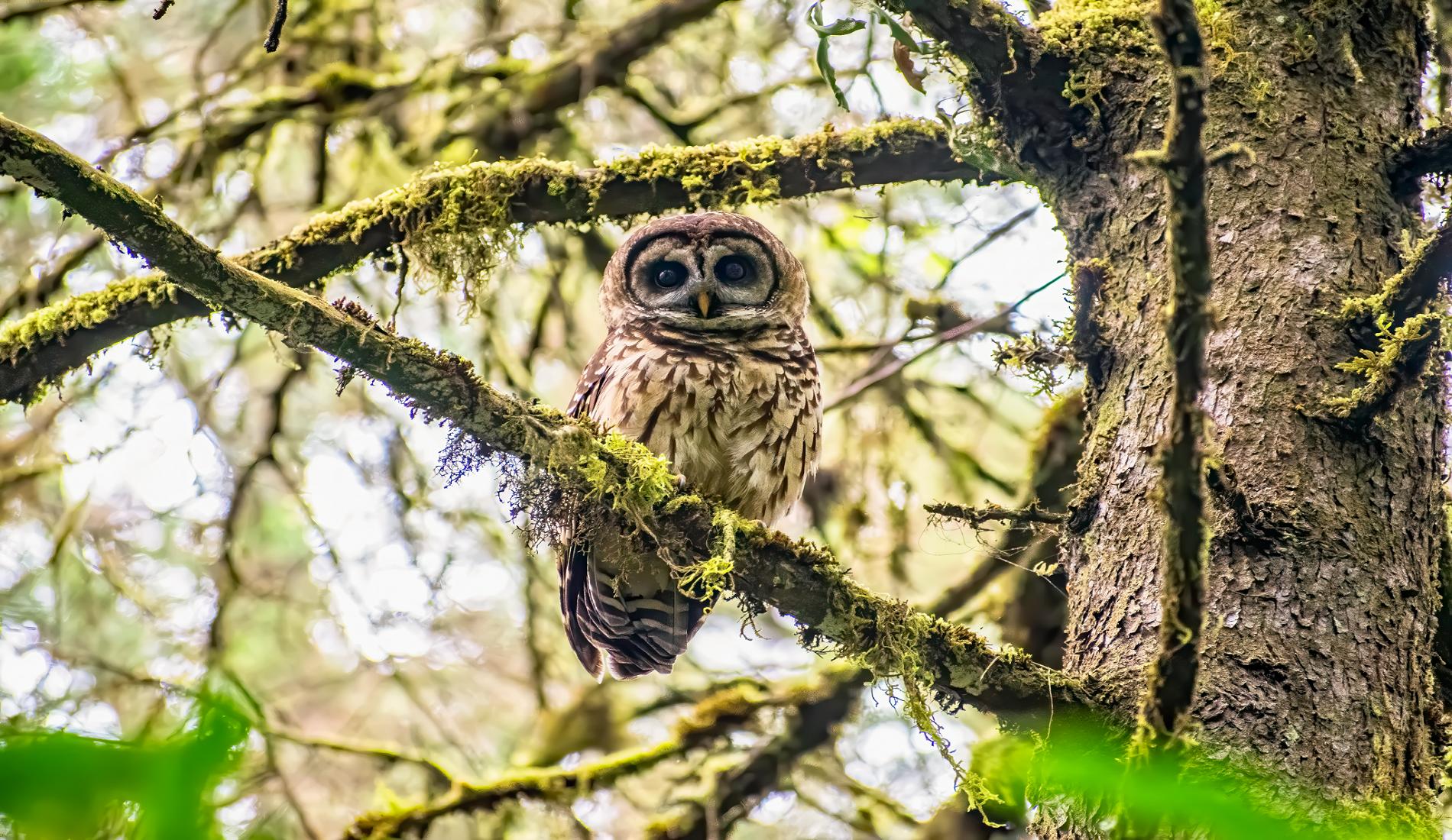 Vogelreis Guatemala Fulvous Owl