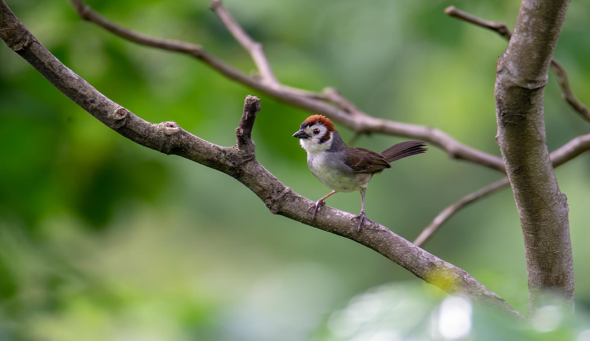 White-faced-Ground-Sparrow guatemala