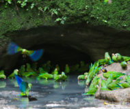 Amazone Ecuador parrot clay lick
