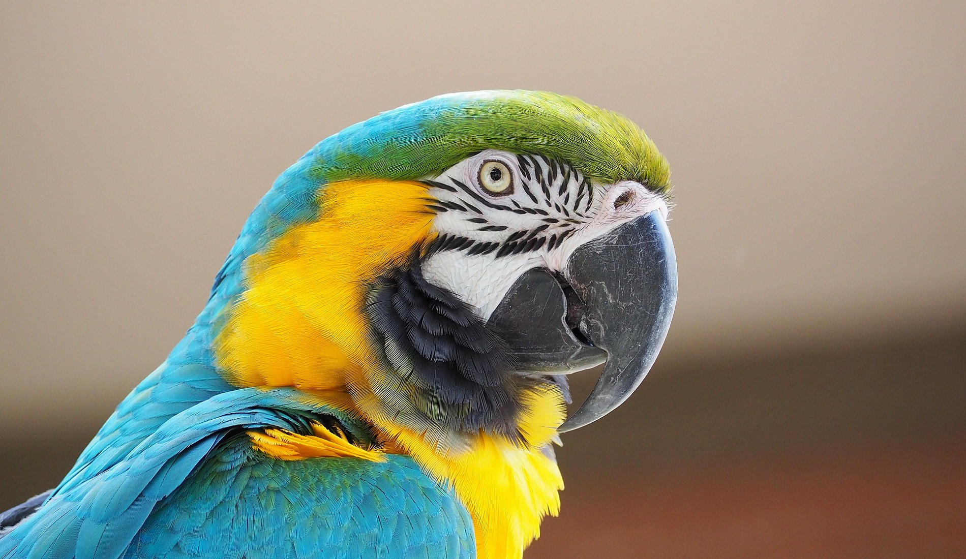 ara amazone colombia