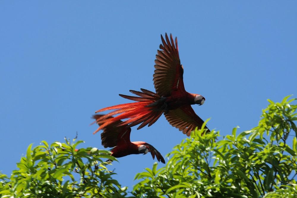 ara's nationaal park Corcovado