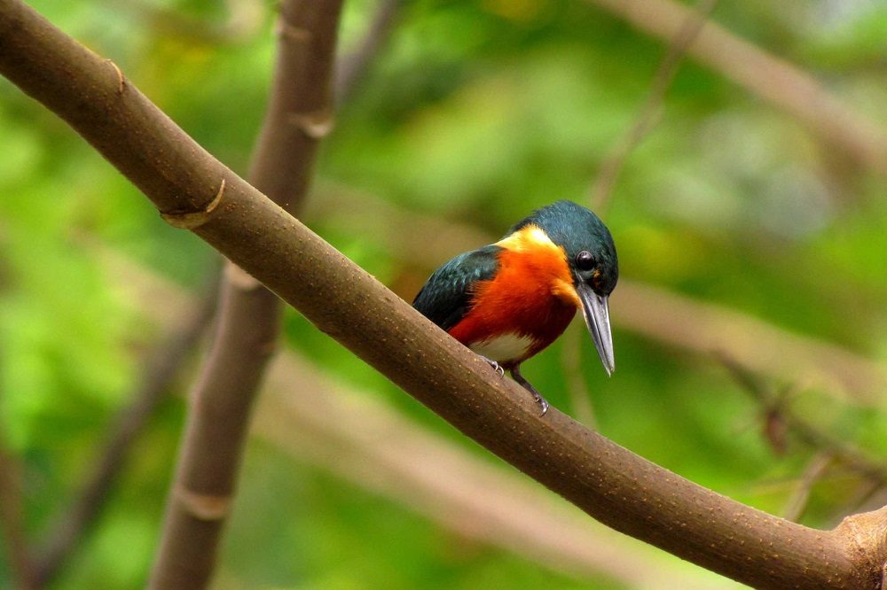 American Pygmy Kingfisher (fotocredits Natalia Decastro Gonzalez)