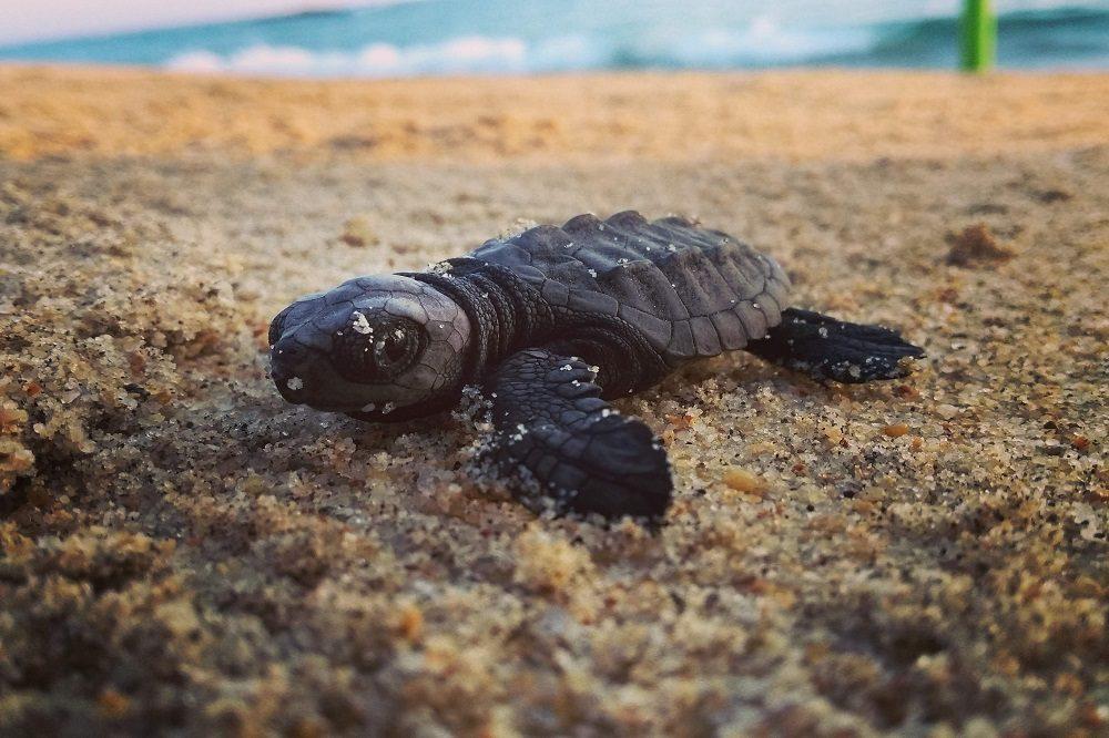 Baby schildpad Puerto Escondido