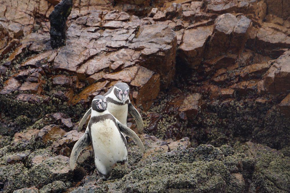 Ballestas eilanden (fotocredits Paulo de Boer