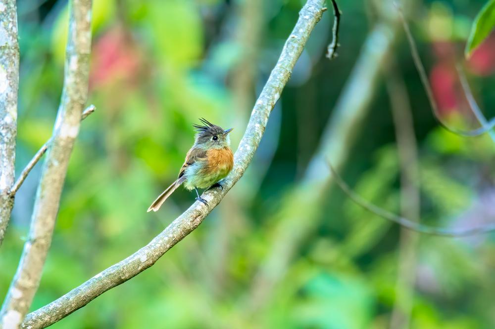 Belted-Flycatcher_ Lake Atitlan