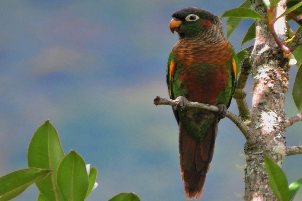 Brown-breasted Parakeet