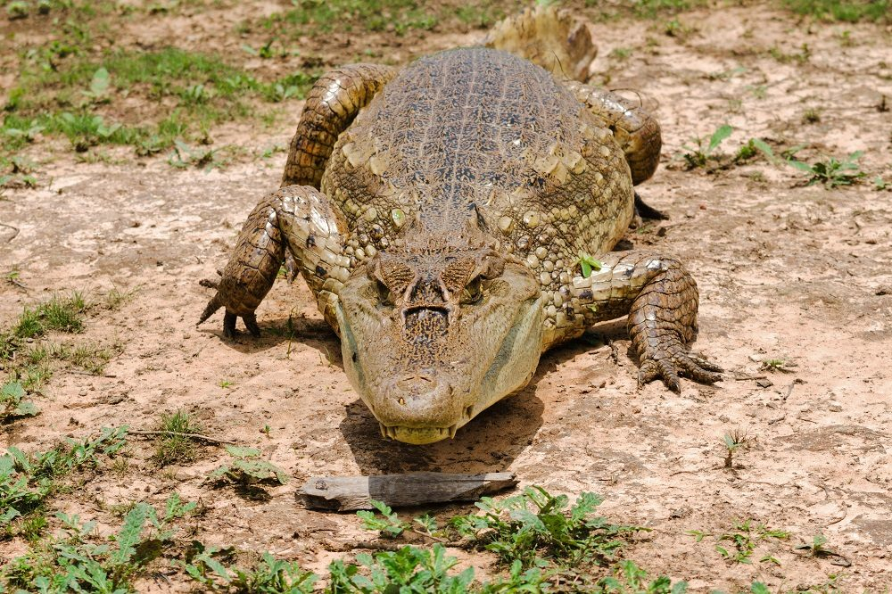 Caiman (foto van Aventur Eco Tours)