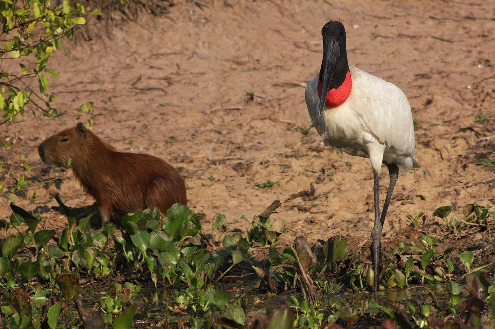 Capibara en Jabiru fotoreis Pantanal