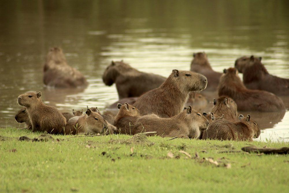 Capibara los llanos rondreis colombia