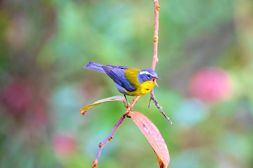 Crescent-chested Warbler Tecpan vogelreis guatemala