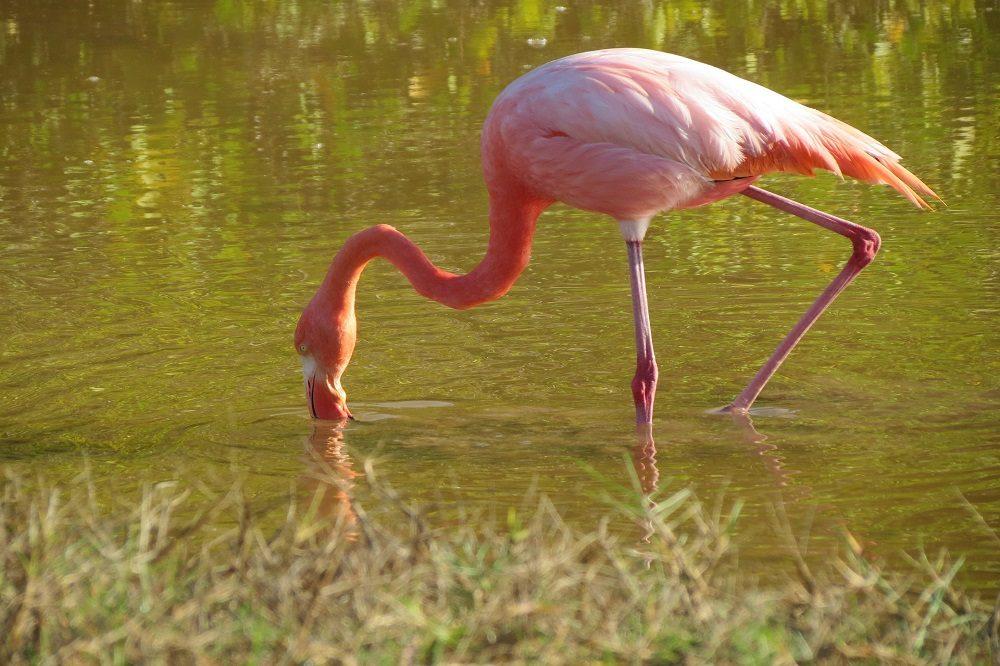 Flamingo Galapagos Santa Cruz
