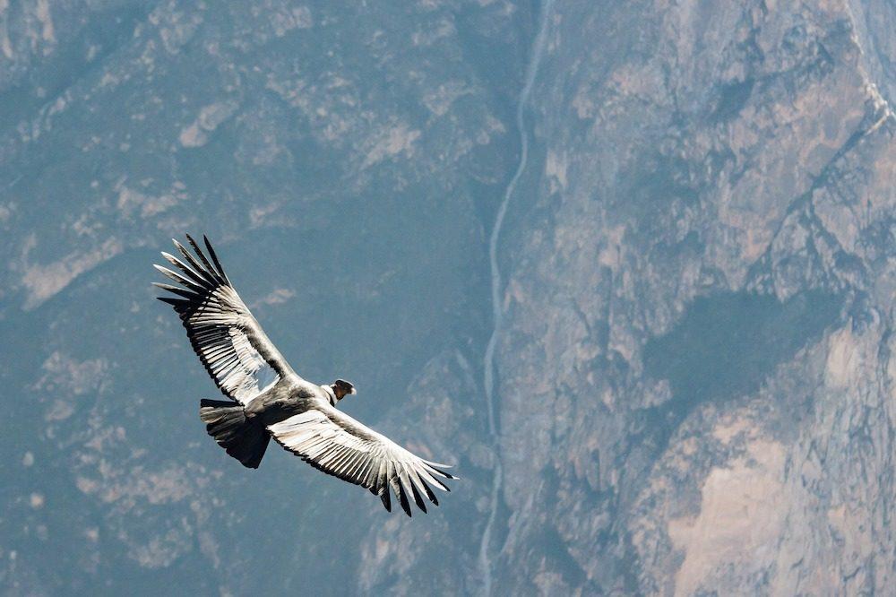 Hoogtepunten reis Peru Condor