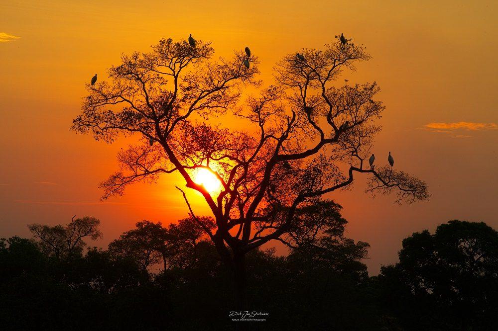 Jabiru at sunset