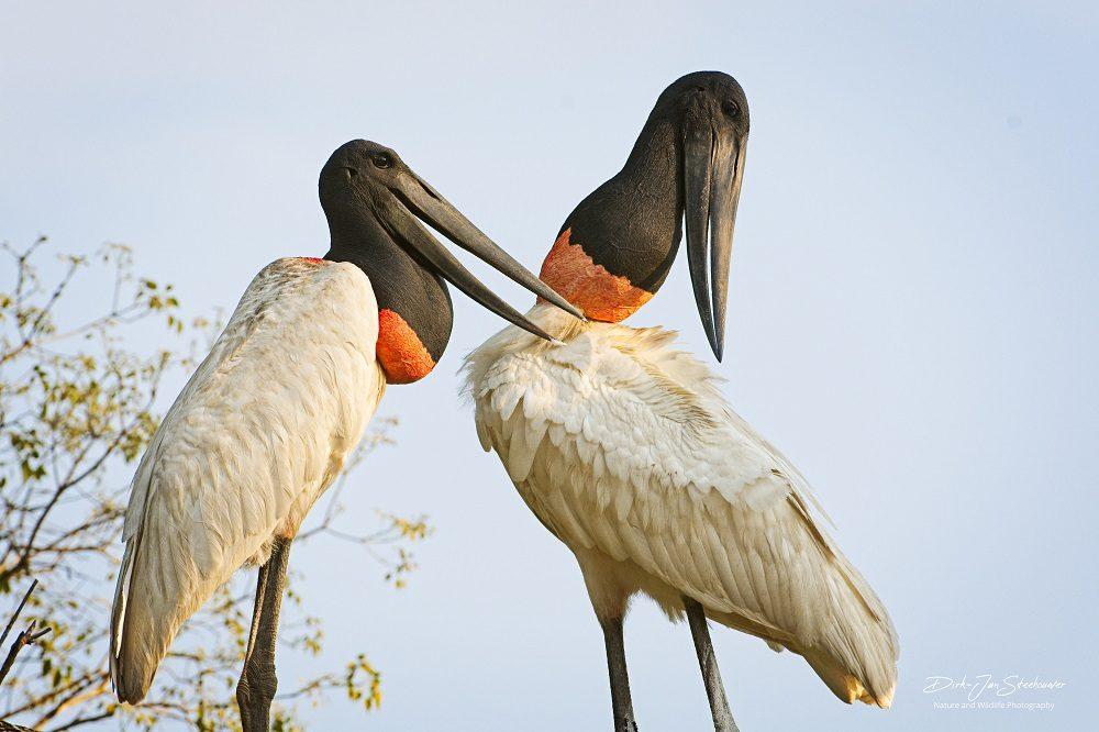 Jabiru fotreis Pantanal