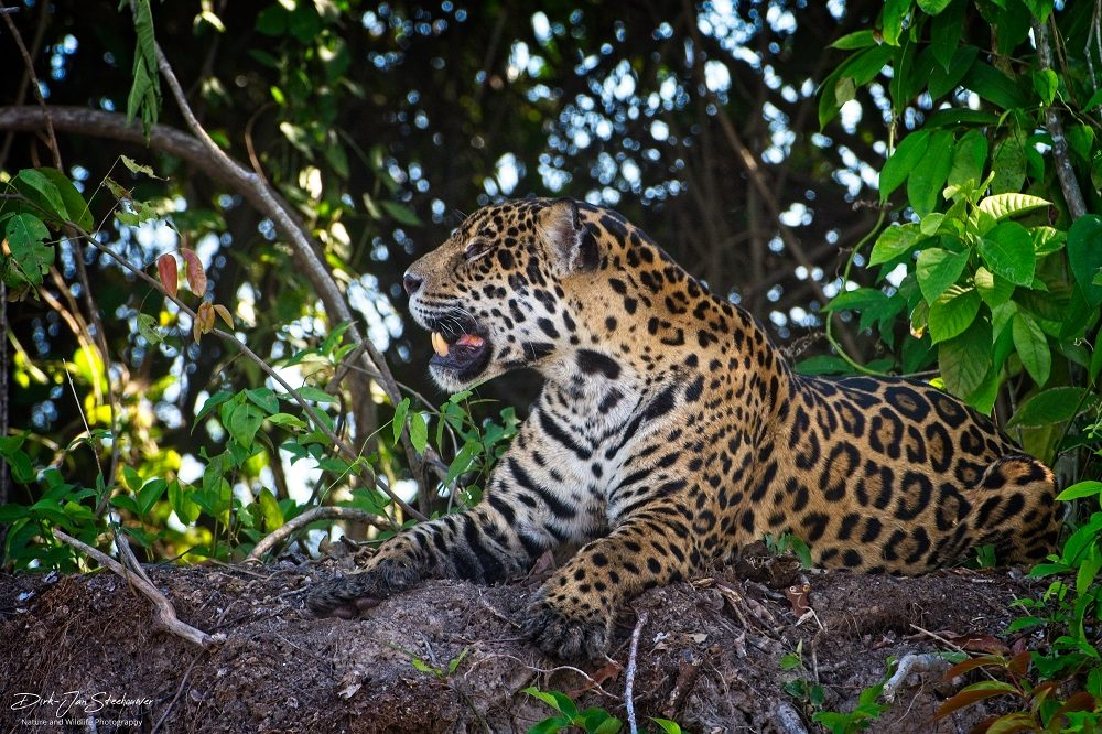 Jaguar fotoreis Pantanal
